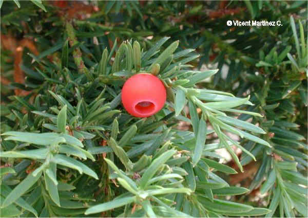 Photo of yew leaves and fruit