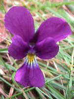 Viola bubanii Timbal-Larg.