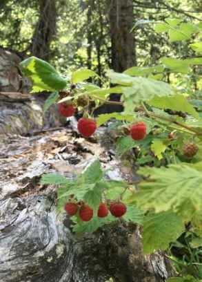 frambuesas frutos rojos silvestres