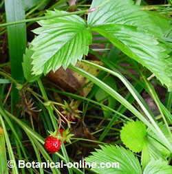 planta fresal silvestre fragaria vesca