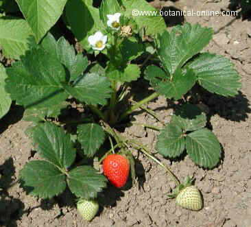El cultivo de la fresa