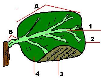 Dibujo de las partes de una hoja