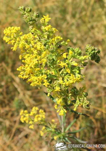 galium cuajo natural