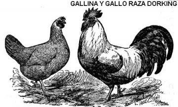 gallina dorking