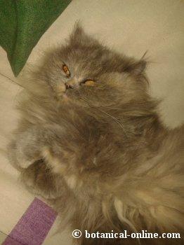 gato de raza persa