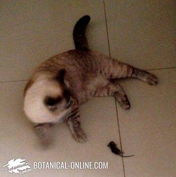 Características del Gato doméstico