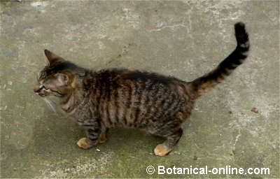 gato europeo