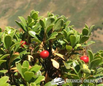 gayuba, frutos y hojas