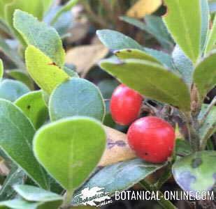 gayuba arbusto hojas frutos