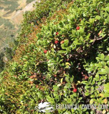 gayuba arbusto habitat
