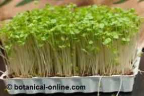 germinados de alfalfa