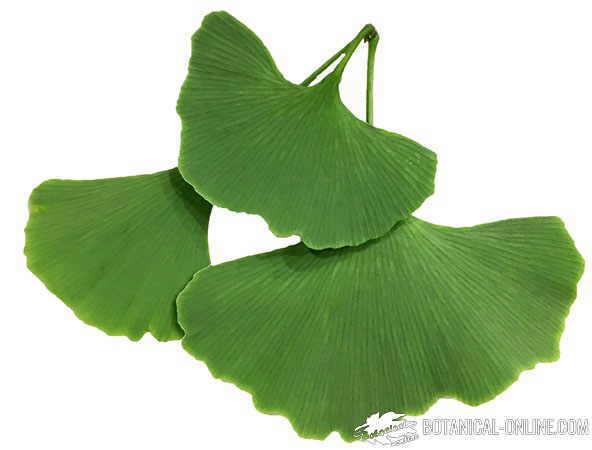 ginkgo hojas fondo blanco