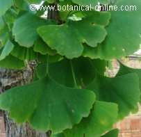 ginkgo for memory loss