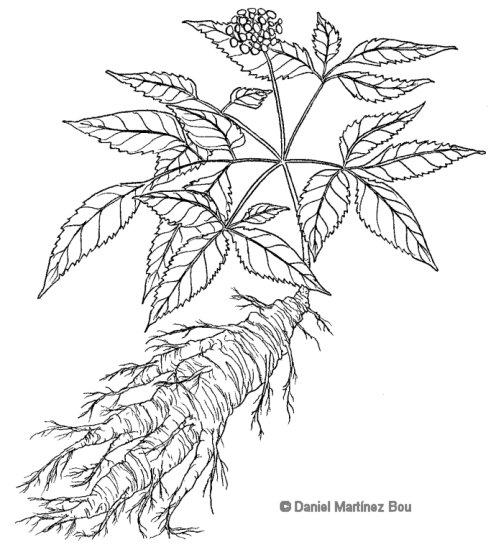 American Ginseng Drawing Drawing of Ginseng