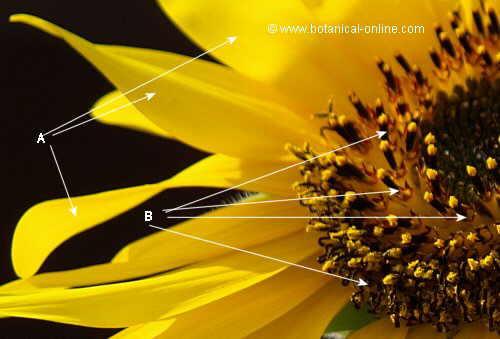 Detalle de flor de girasol