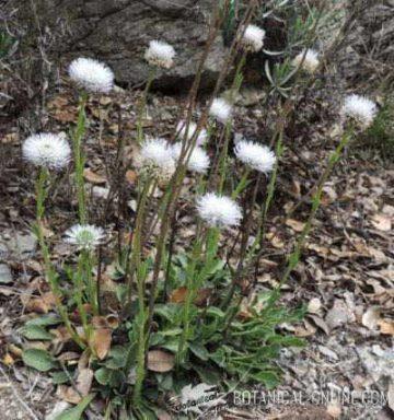 globularia vulgaris planta