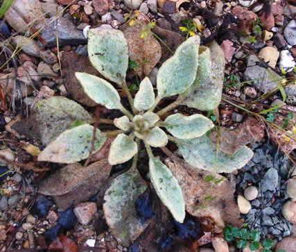 Planta de Gordolobo en roseta