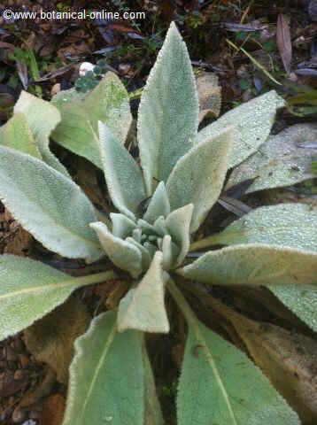 gordolobo planta