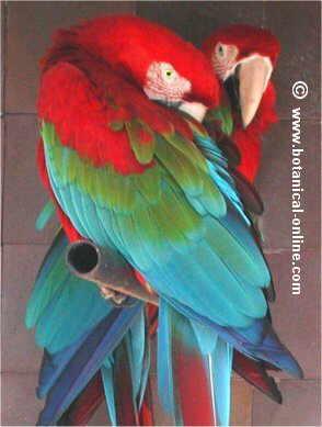 ara de alas verdes