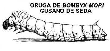 larva bombyx mori
