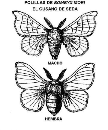 polilla bombyx mori