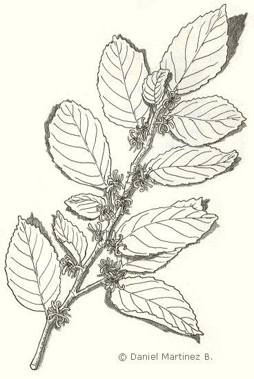 drawing of witch hazel
