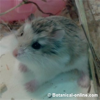 hamster-roborowski