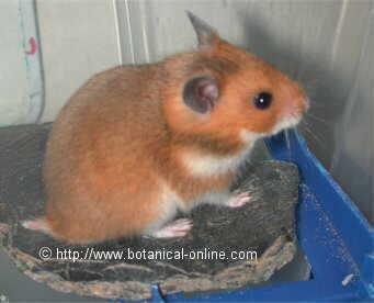 Hamstercitos 3 variedad crom tica del hamster sirio - Como cazar ratones en casa ...