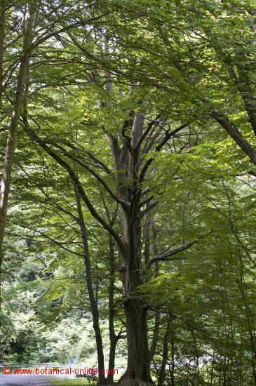 Haya árbol