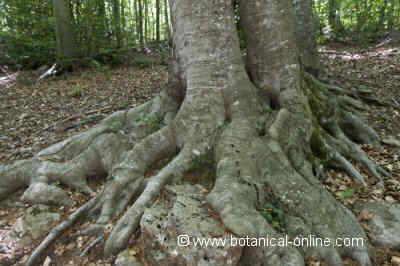tronco y raices de una haya