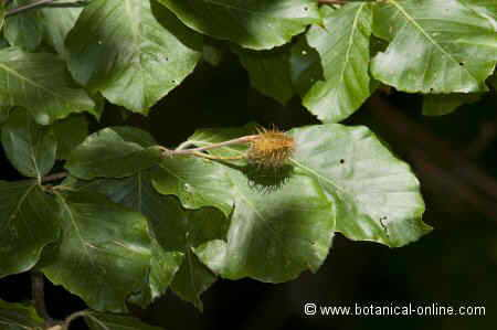 Fagus sylvatica, fruto