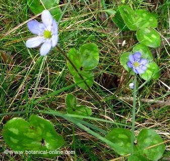 flor hepatica