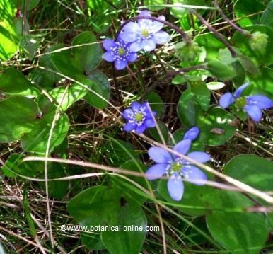 Fotografía de flores de hierba hepática