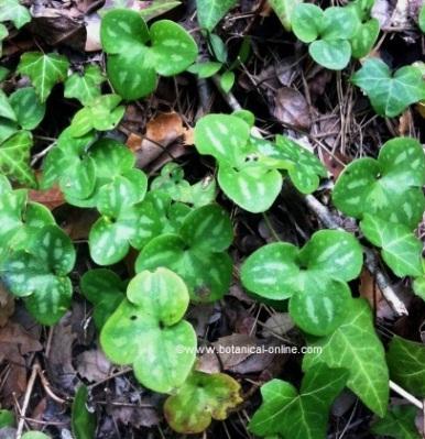 Fotografía de hierba hepatica en estado silvestre
