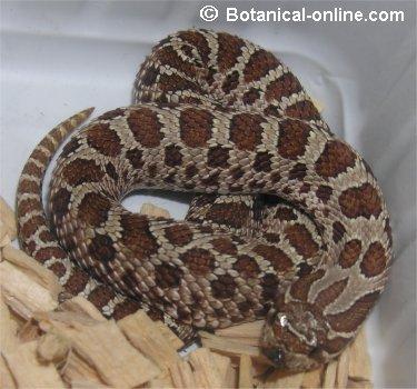 Culebra Heterodon nasicus