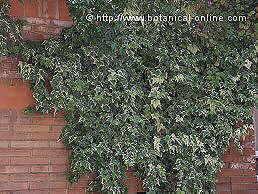 Plantas trepadoras perennes for Plantas trepadoras para muros