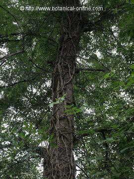 Hedera helix, hiedra subiendo por el tronco de un árbol