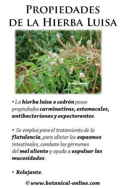 Propiedades de la hierba luisa