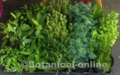 hierbas aromaticas cultivo