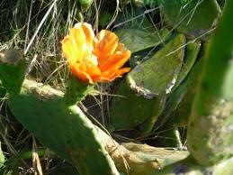 flor higos chumbos