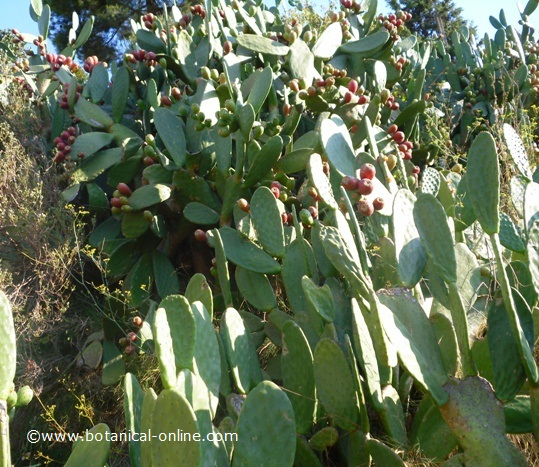 Information about prickly pears