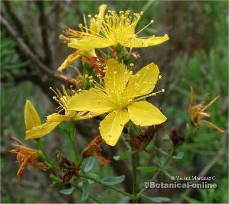 flores hiperico san juan