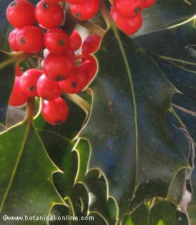 Hojas y frutos del acebo