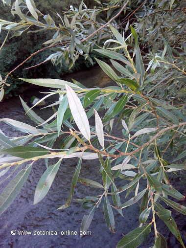 hojas-sauce