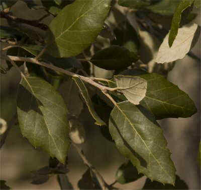 alcornoque hojas