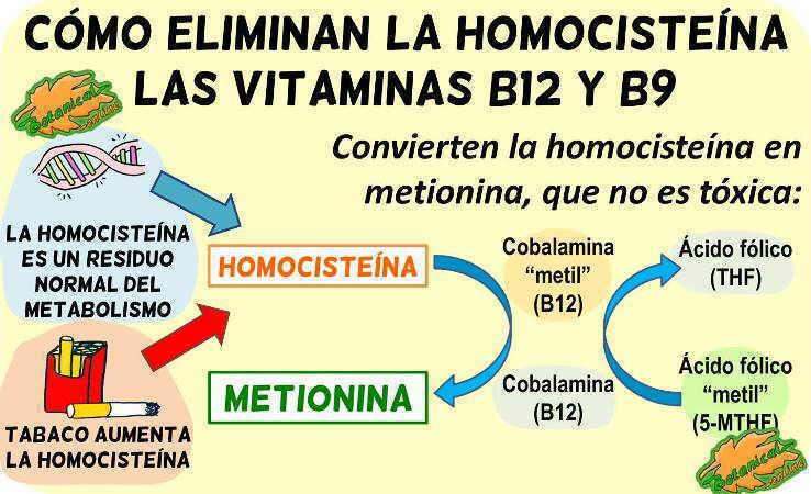 metabolismo homocisteina ciclo metionina b12 b9 folico