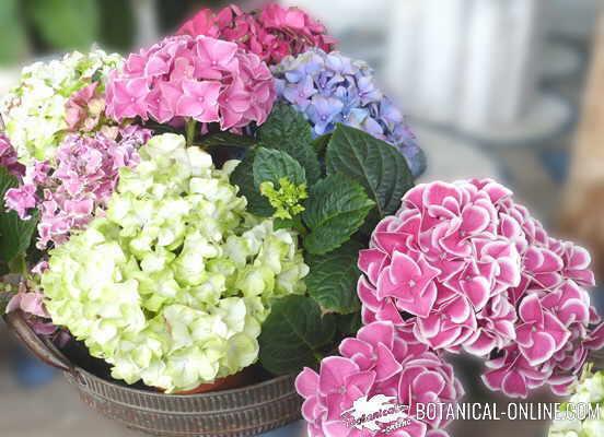 Cultivo Y Cuidados De Las Hortensias - Color-de-las-hortensias