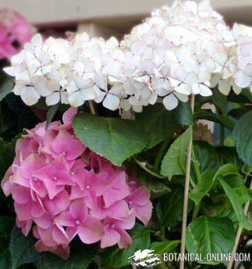 detalle flores de hortensias