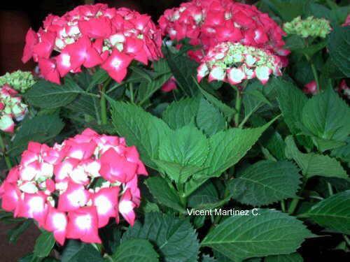 Cultivo y cuidados de las hortensias - Cuidado de las hortensias ...