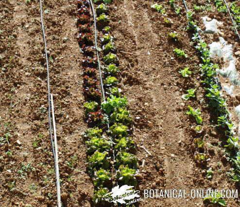 campo cultivo siembra